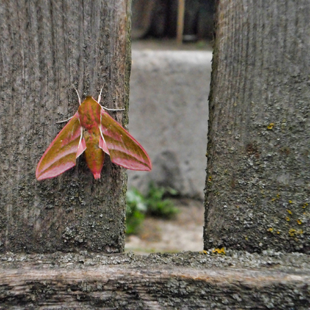 big night moth on a wooden fence, a beautiful insect Stock fotó