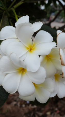 inflorescence of white flowers, white petals with a yellow center