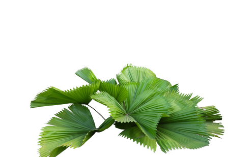 Large leaves of a tropical plant. Tropical plant with leaves in the shape of umbrella. Isolated. White background. Stockfoto