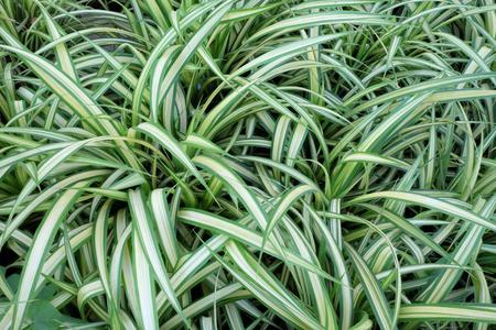 Many leaves with light stripes. Dense vegetation. Background. 写真素材 - 122104250