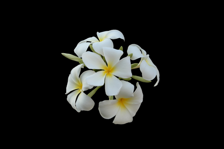 Inflorescence of white five-petalled flowers with yellow centers. Beautiful white flowers. Isolated. Black background.