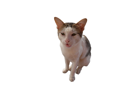 White, angry shorthair cat. Cat mixed breed. Isolated. White background.