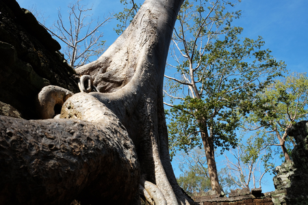 The huge root of the banyan tree and its smooth white trunk. Warm sunny weather and clear sky.