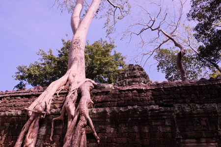 Banyan trees on ruins in Ta Prohm temple. Cambodia. Large aerial ficus roots on ancient stone wall. Abandoned ancient buildings. Tropical tree.
