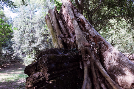 The stump of a huge tropical tree near the remains of an old building. 스톡 콘텐츠