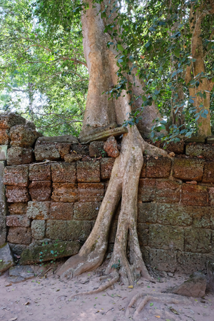 A huge ficus grows on the old stone wall. The tree destroys the ancient stone wall with its roots.
