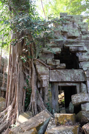Ancient dilapidated buildings in the rainforest. Trees grow near abandoned buildings of the Khmer Empire.