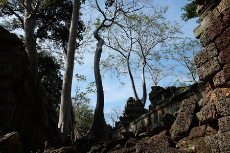 Huge ficus trees grow among the ancient Khmer ruins. Fragments of ancient stone buildings.