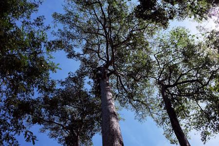Corone di alberi ad alto fusto intrecciate con rami contro un cielo limpido. Alberi in una foresta tropicale in una giornata di sole. Archivio Fotografico