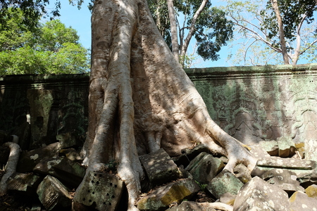 Ta Prohm ruins with giant spung tree roots in Angkor Wat, Cambodia. Ficus germinated among the ancient stone blocks.