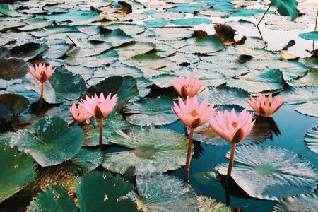 Several beautiful blossoming lotuses on the pond. Plants of Southeast Asia.
