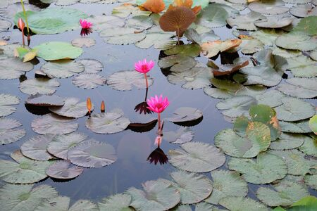 The water surface is covered with leaves and lotus flowers. Lotus flower in a pond.