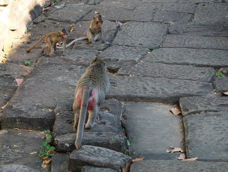 Two little monkeys playing on an ancient stone road. A monkey with red goes to its cubs.