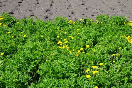 Thickets of dandelions and alfalfa near a plowed garden.