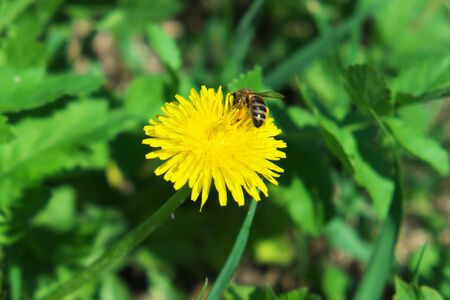 A bee collects nectar from a dandelion flower.
