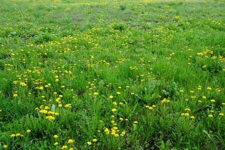 Many dandelions bloom in a beautiful green meadow.