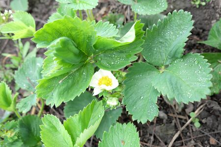 Blooming strawberries. A strawberry plant on which white flowers bloomed.