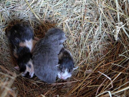 Three little kittens are lying on the hay. Newborn kittens.