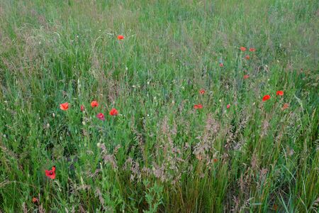 Red poppies bloom among a variety of field herbs. Stok Fotoğraf