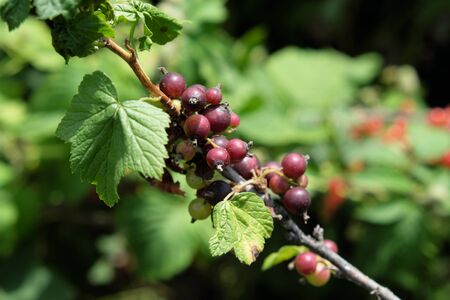Unripe berries of black currant on a branch, closeup.