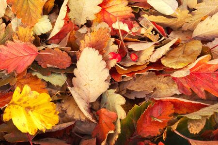 Bright multi-colored autumn leaves as a background.