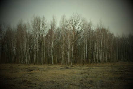 Birch grove on a spring evening. Leafless trees at dusk. Overcast weather.