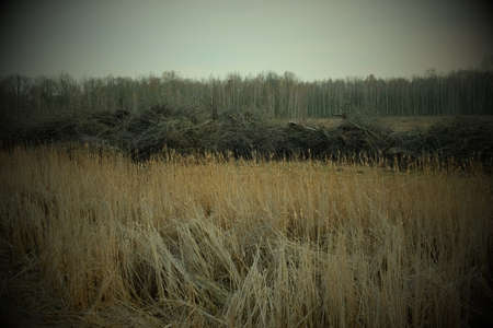Overgrow the dried reeds on a spring evening. Cloudy weather, landscape. 免版税图像
