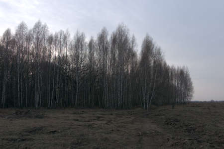 A birch grove in a late spring evening. Leafless trees in March.