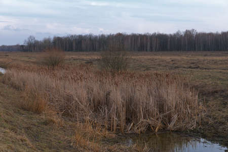 Reed thickets on a small boggy river in the evening. Evening landscape. Overcast weather. 免版税图像