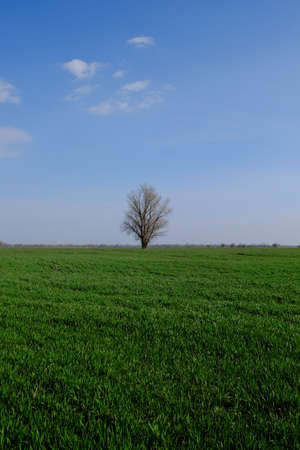 Beautiful single tree in a green field against a blue sky. Spring landscape. Archivio Fotografico