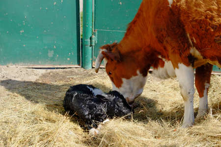A cow sniffs her newborn calf. A newborn calf lies in the hay next to its mother. Livestock on the farm.