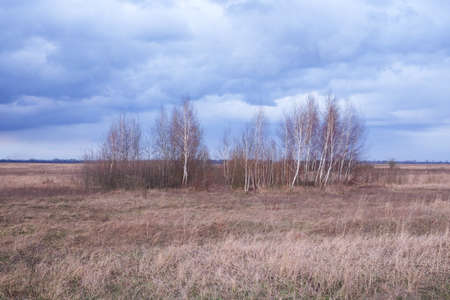 Small birch grove among yellow autumn grasses. Dramatic evening sky above the ground. Bright autumn landscape. Attractive nature.