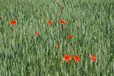Red poppy among the field grasses in summer. Beautiful wildflowers. Untouched nature. Stock fotó