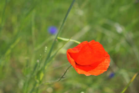 Bright red poppy flower. Wild flower with red petals. Stock fotó