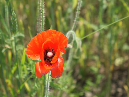 Big red poppy flower in a close-up. Beautiful flower with red petals.