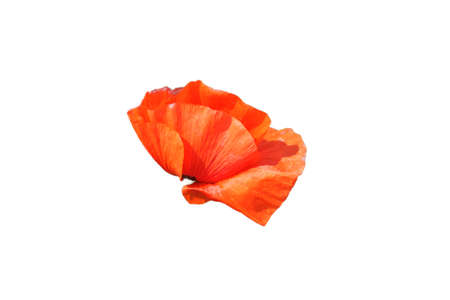 Big red poppy flower in a close-up. Beautiful flower with red petals. Isolated on white background.