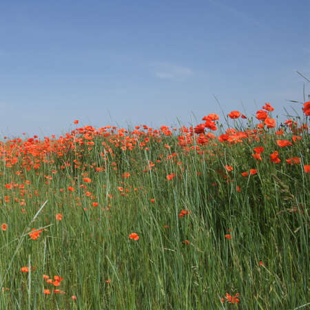 Red poppy flowers in a field on a sunny day. Clear blue sky over a poppy field. Scenery. Red wildflowers.