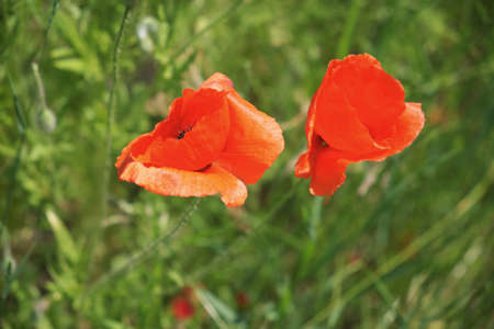 Large red poppies close up. Wildflowers with red petals.