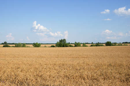 Several trees amidst a vast field of ripe wheat in summer. Agricultural land before harvesting grain. Picturesque rural landscape. Fluffy white clouds against the blue sky.