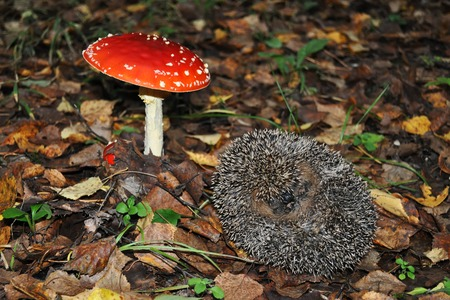 fall protection: hedgehog is next to the mushroom fly agaric on the autumn foliage