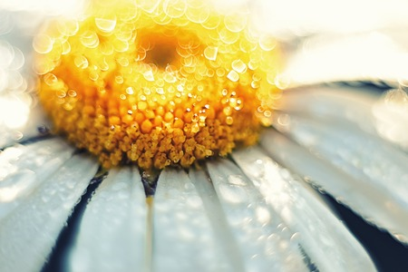 yellow stamens: white Daisy with yellow stamens close up covered with drops of dew in the summer Stock Photo