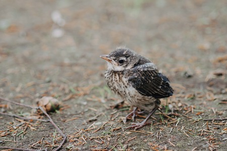 little cuckoo chick in the Park closeup