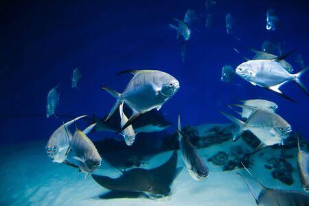 fish Palometa Trachinotus goodei swim in blue water in the aquarium