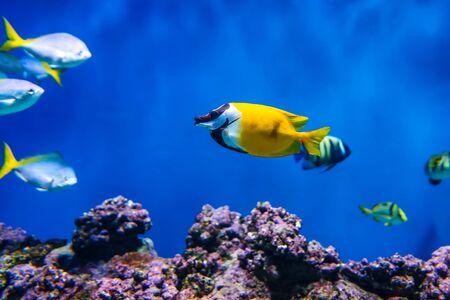 Siganus vulpinus Fox Face fish in the aquarium