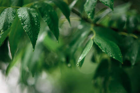 fresh green leaves on the branches of the tree in drops of rain