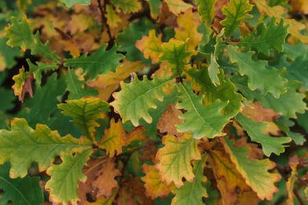 Orange green oak leaves in autumn in the forest Stock fotó
