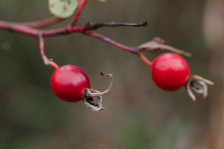 Wild red rosehip fruit on branches closeup