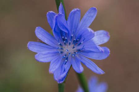 Macro blue flower of chicory closeup wild