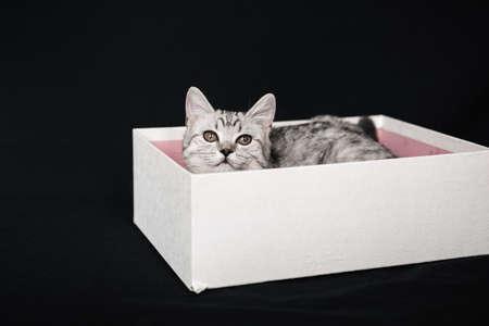 Scottish straight striped grey cat lies in a white box