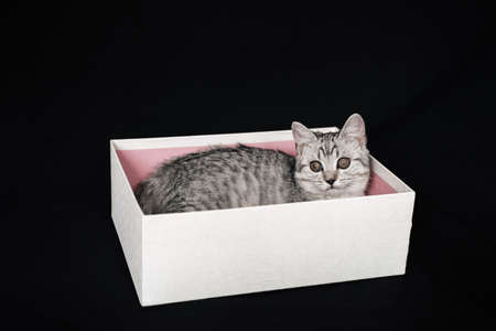 Scottish straight striped grey cat sits in a white box